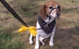 Cão com fita amarela