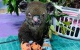 Lewis, o coala